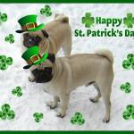 St-Patrick-Day-Pugs-saint-patricks-day-33714512-724-585
