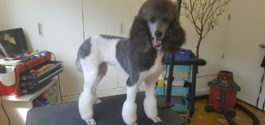 Dog Grooming Poodle Client
