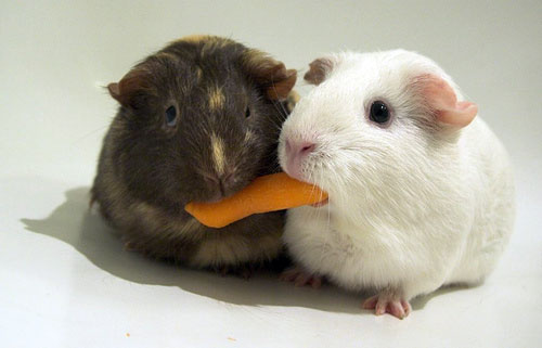 Adopt-a-Rescued-Guinea Pig Month